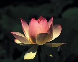 Lotus Purity large