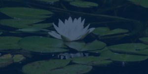 lilly pad dark
