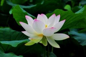 Beginners Meditation Lotus No.2